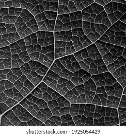close up vein of gray leaf texture