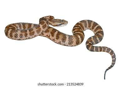 A close up of the venomous snake (Agkistrodon saxatilis). Isolated on white.