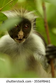 Close up vertical detailed portrait rare Zanzibar Red Colobus,Piliocolobus kirkii between green leaves in Zanzibar's Jozani forest. Blurred forest in background with lens bokeh effect.
