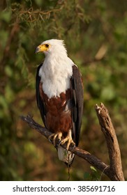 Close up vertical photo of bird of prey, Haliaeetus vocifer, African fish eagle perched on branch against blurred green bush in background in warm afternoon light. Marchison Falls, Uganda.