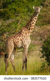 Close up vertical photo of  Masai Giraffe, Giraffa camelopardalis tippelskirchi walking in green savanna during summer season, staring directly at camera. Green bush and trees in background.