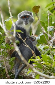 Close up vertical photo of mother and baby Zanzibar Sykes' monkey Cercopithecus albogularis hidden in leaves in Zanzibar's Jozani forest. Nice background with lens bokeh effect.