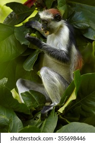Close up vertical photo of rare Zanzibar Red Colobus,Piliocolobus kirkii on branch, feeding on fruit between leaves in Zanzibar's Jozani forest. Nice blurred background with lens bokeh effect.