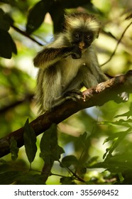 Close up vertical photo rare Zanzibar Red Colobus,Piliocolobus kirkii,baby,on branch,feeding on fruit between leaves in Zanzibar's Jozani forest. Blurred background with lens bokeh effect,eyes contact