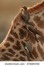 Close up vertical photo of three Red-billed oxpeckers, Buphagus erythrorhynchus, ticks eating african birds on neck of giraffe, feeding on parasites.