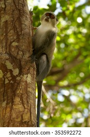 Close up vertical photo of Zanzibar Sykes' monkey Cercopithecus albogularis climbing on trunk in  Zanzibar's Jozani forest. Nice background with lens bokeh effect.