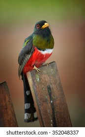 Close up vertical portrait of high altitude green and red male Masked Trogon Trogon personatus in cloud forest of Ecuador perched on old pale. Blurry brown and green background.