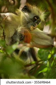 Close up vertical portrait rare mother with baby Zanzibar Red Colobus,Piliocolobus kirkii on branch, breast-feeding baby between leaves in Zanzibar's Jozani forest. Blurred forest background.