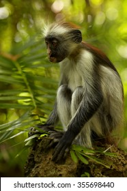 Close up vertical portrait rare Zanzibar Red Colobus,Piliocolobus kirkii sitting on rock, between green leaves in Zanzibar's Jozani forest. Blurred forest in background with lens bokeh effect.