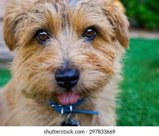 A close up of a very cute Norfolk terrier with it's tongue hanging out