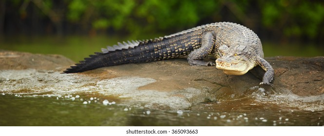 Close up very large Mugger crocodile Crocodylus palustris in movement. Coming directly at camera from rock to river. River in foreground, green blurred mangrove in background. Bentota river, Sri Lanka