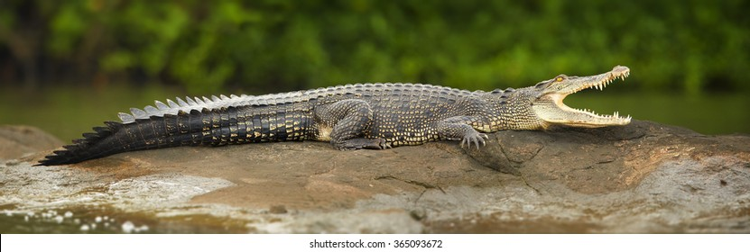 Close up very large Mugger crocodile Crocodylus palustris  relaxing on the rock in river with opened mouth. River in foreground, green mangrove in background. Bentota river, Sri Lanka