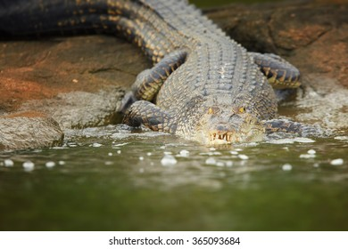 Close up very large Mugger crocodile Crocodylus palustris in movement. Coming directly at camera from rock to river. Head in water, body on rock. River in foreground, green mangrove in background.