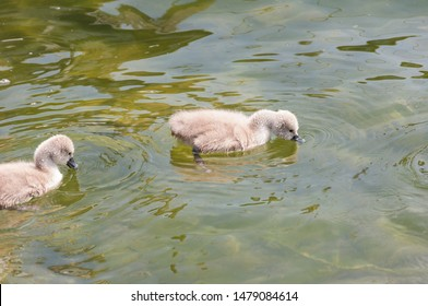 Close up of very young swans (also known as cygnets) on a lake during the summer.