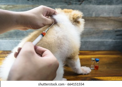 Close up of veterinarian doctor with syringe making vaccine injection to Pomeranian dog, sitting on wood floor with blur vial , drug injection or vaccination, wood background.