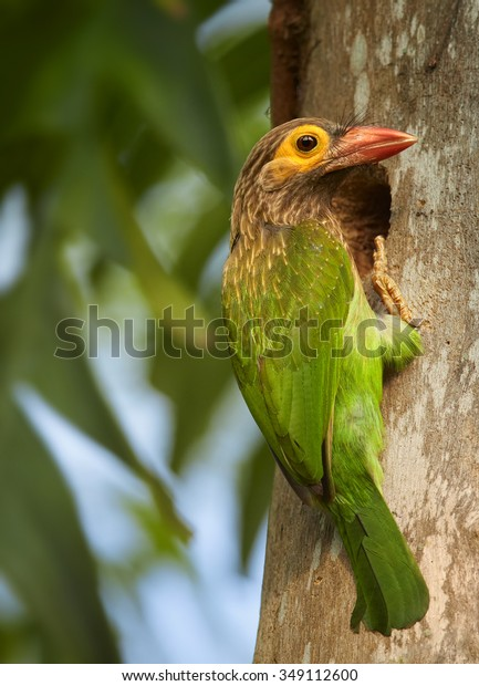 Close up vibrant green and brown Brown-headed Barbet Megalaima zeylanica on the old trunk next to nest hole . Green blurred colorful background.