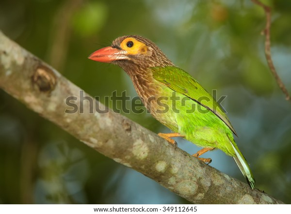 Close up vibrant green and brown Brown-headed Barbet Megalaima zeylanica perched on branch. Green blurred colorful background.
