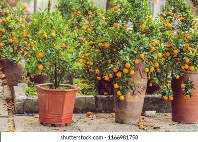 Close up Vibrant orange citrus fruits on a Kumquat tree in honor of the Vietnamese new year. Lunar new year flower market. Chinese New Year. Tet