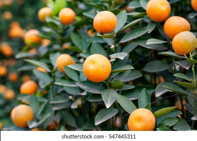 Close up Vibrant orange citrus fruits on a Kumquat tree. It' s the symbol of Vietnamese lunar new year. natural background
