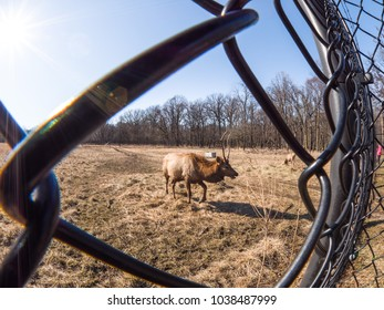 Close up view of an adult male bull elk deer with brown fur through a chain link fence in the Busse Forest Preserve elk pasture with tall yellow grasses and trees in background in Elk Grove Village.