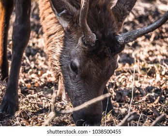 Close up view of an adult male bull elk deer with brown fur in the Busse Forest Preserve elk pasture with tall yellow grasses and trees in background in Elk Grove Village in Illinois.