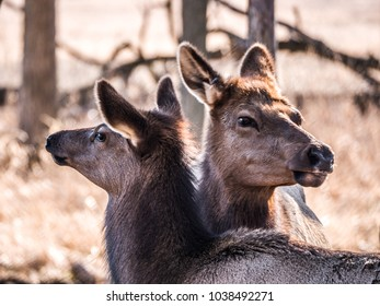 Close up view of an adult mother and young elk deer with brown fur in the Busse Forest Preserve elk pasture with tall yellow grasses and trees in background in Elk Grove Village in Illinois.
