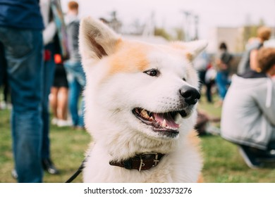 Close View Of Akita Dog Or Akita Inu, Japanese Akita Outdoor. Smiling Dog.