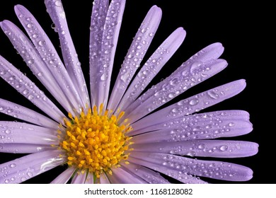 A close up view of the Alpine Aster (Aster Alpinus) flower with dew drops. Full depth of fild. Isolated on black background.