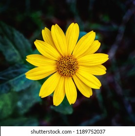 Close view of Arnica herb  blossom in a blurry background
