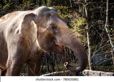 Close up view of a Asian or Asiatic elephant (Elephas maximus) head, with happy smile.