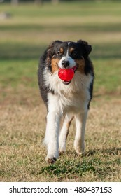 Close view of Australian Shepard dog walking on grass at park with ball in mouth.