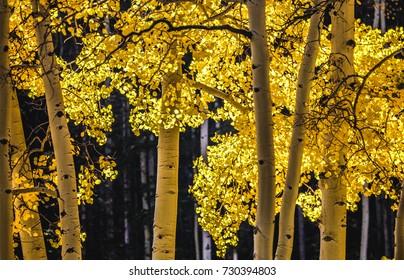 Close up view of autumn Aspen tree on the Gondola ride sunny morning. Telluride, Co., USA.