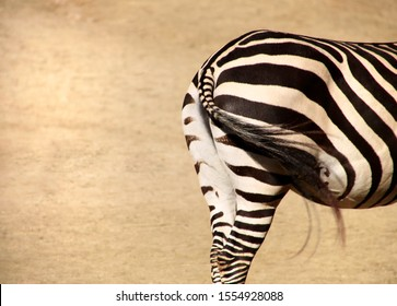 close up view of the back of a zebra with moving tail and sandy background