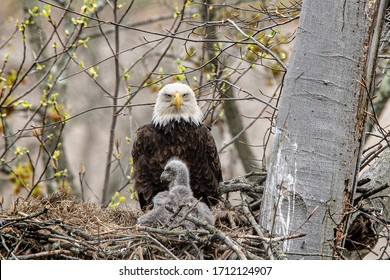 A close view of a bald eagle adult comforting the eaglet, high up in the nest.
