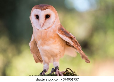 Close up view of a barn owl (Tyto alba) at display in a medieval fair.