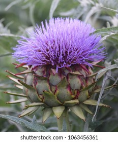 A close up view of a beautiful bloom  of Artichoke flower head in an Artichoke field.  (Cynara scolymus, family Asteraceae)