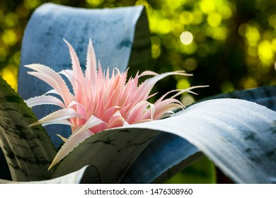 Close up view of beautiful blooming pink bromeliad plant.