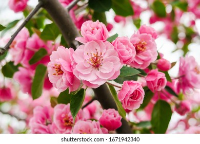 close-view-beautiful-cherry-blossom-260n