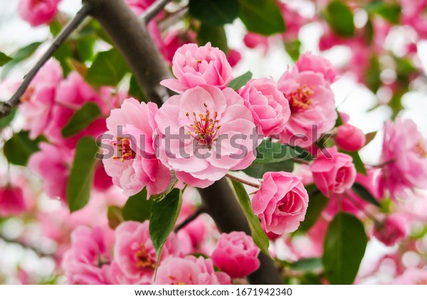 close-view-beautiful-cherry-blossom-600w