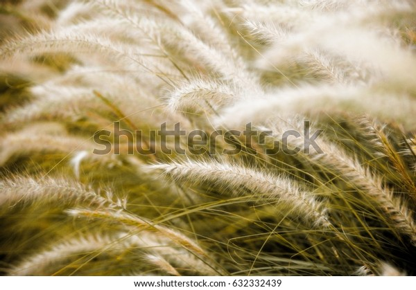 A close up view of beautiful cogon grass focus and blur with a green background. Also known as blady grass or kunai grass.