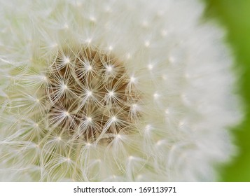 A close up view of a beautiful dandelion blossom in a fresh spring garden.