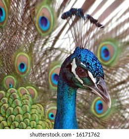 Close view of a beautiful, displaying male peacock