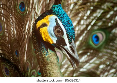 Close Up view of a beautiful male peacock