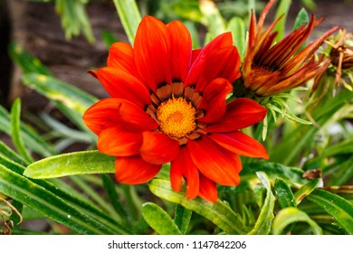 Close view of an beautiful orange and yellow daisy flower in the garden
