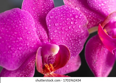 Close up view of beautiful orchid flowers in bright magenta color. Phalaenopsis orchid cultivation at home.Blooming Phalaenopsis flower with water drops on petals