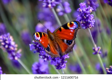 Close up view of a beautiful Peacock butterfly on lavender flower. Spring - Summer in the garden concept. Background. Copy space