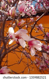 close up view of beautiful pink magnolia flowers against orange background