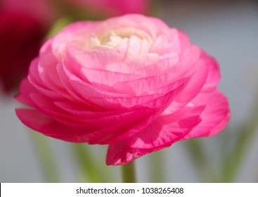 a close up view of a beautiful pink Ranunculus aka buttercup flower, exquisite, with a rose-like blossoms, layer upon layer of silky petals. soft colors background, Isolated