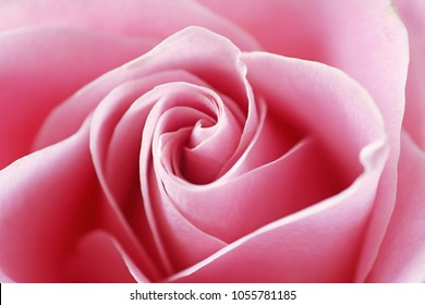 Close up view of a beautiful pink rose. Macro image of pink rose
