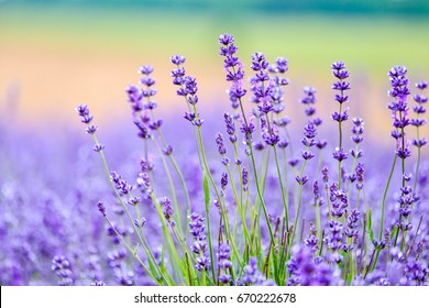 Close up view of beautiful purple lavender flowers.